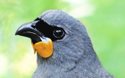 Probably extinct songbird ruffles feathers in Bird of the Year competition