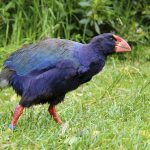 A takahē walking on its main prey, grass